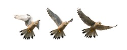 Composition Of A Sequence Of Images Showing A Kestrel, Falco Tinnunculus, Hovering In Flight Looking For Food Isolated On A White Background. Taken at Stanpit Marsh UK
