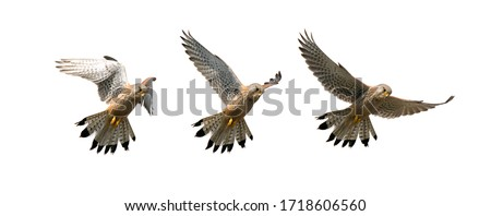 Composition Of A Sequence Of Images Showing A Kestrel, Falco Tinnunculus, Hovering In Flight Looking For Food Isolated On A White Background. Taken at Stanpit Marsh UK Stock fotó ©