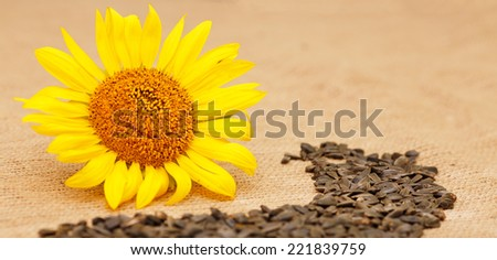 Composition of different types of crop seeds. Autumn harvest. Flower seeds, ripe grain sunflower, sunflower seeds. Ripe sunflower head on a table next to the seeds and flower seeds.