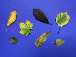 Composition of Seven Autumn Leaves