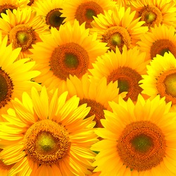 Composition of sunny sunflower background