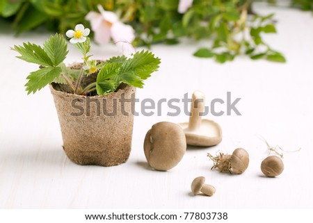 Composition with blossom sprout of strawberry in garden pot and mushrooms on white table