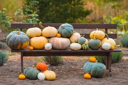 Composition with pumpkins on wooden bench, many different multicolor pumpkins on ground, lawn. Original photo, daylight, outdoors and space. Halloween preparation