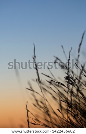Composition with silhouette and branches of straw in sunset, Madrid. (Vertical)