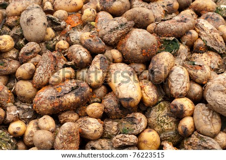 Compost Pile of Rotting Potatoes, close up horizontal with details