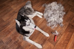 Concept annual molt, coat shedding, moulting dogs. Siberian husky lies on wooden floor next to piles wool and red rakers brush. Husky dog black and white with blue eyes. Top view.