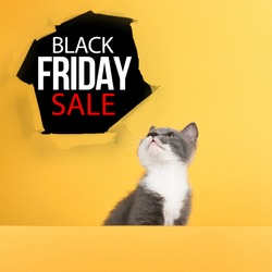 Concept Black Friday sales, cute little gray cat on yellow background, look at mockup. Buisiness banner, promotional advertising.
