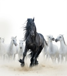 Concept: Black frisian stallion running with the herd of white horses on the background
