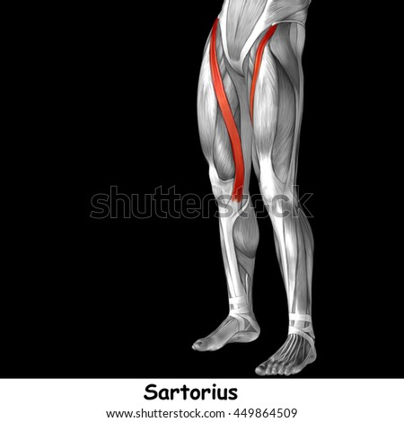 Concept conceptual 3D illustration human upper leg anatomy or anatomical and muscle isolated on black background metaphor to body, tendon, fit, foot, strong, biological, gym, fitness, health medical