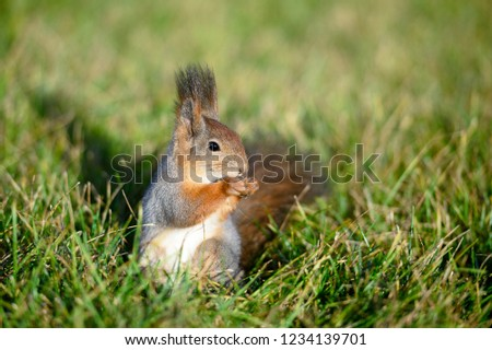 Concept of animals in wildlife. Close up photo of amazing furry red squirrel with big fluffy tail eats food of nuts in natural summer forest or park at sunny day and bright green grass background.