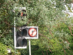 Concept of danger on the highway from homeowner neglect shown by red traffic light signal  obscured by overgrown buddleia  that needs pruning in gloucester UK