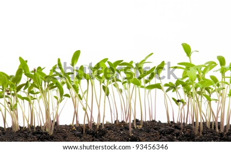 concept of development, the young spring shoots on white background