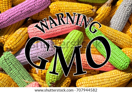 Concept of GMO, presented with corn cobs. Genetically engineered organism. #707944582