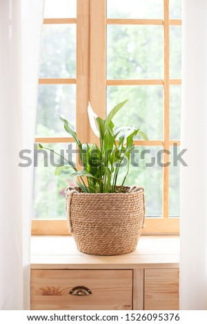 concept of home gardening. Spathiphyllum  in flowerpot on windowsill. Home plants on the windowsill.  Green Home plants in a pot on windowsill at home. Hygge. Boho. Rustic. Scandinavian. space for tex