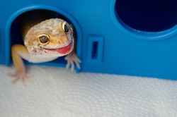 Concept of keeping lizard at home. Lizard shows its tongue. Funny pets. Adult Eublefar lizard licks its lips and peeking out of his plastic blue house. Background with animals with copy space.