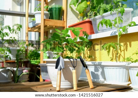 concept of Mint in a pot with garden tools prepared for planting on the balcony in natural conditions as a hobby of a business person against the background of many planted green plants on Sunny day