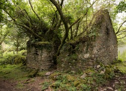 Concept of Mother Nature retaking her due.  Tree growing out of ruins of rock house on the Kerry Way in Ireland