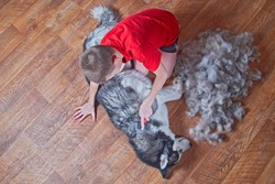 Concept of spring moulting dogs. Boy in red shirt comb wool with Siberian husky. Husky dog black and white with blue eyes lies next to bunch combed wool on wooden floor . Top view.