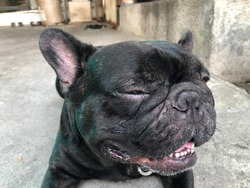 Concept of Treatment of early symptoms,eye inflammation in dogs.French bulldog has Eye injury,eye inflammation,owner wiped the eyes with normal saline solution,wash the wound,medicine eyes drops.