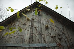 Concept Old houses. The attic is a small window of an old country house, in the fall in wild grapes.