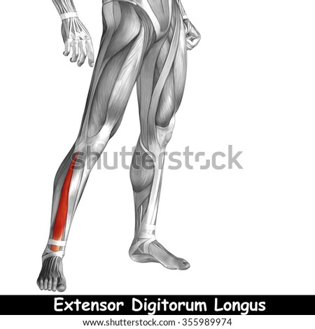 Concept or conceptual 3D human lower leg anatomy or anatomical and ...