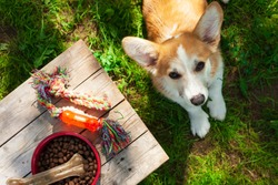 Concept pet care, playing and training. Corgi dog on the grass. Toys, accessories and feed on wooden background. Top view. Space for a text.