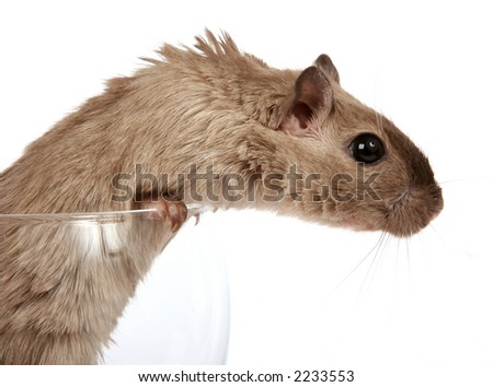 Concept photo of a pet rodent in a wine glass, macro close up over white with copy space