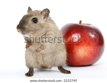 Concept photo of a rodent by healthy red apple, isolated on white, macro with copy space