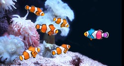 Concept - to be yourself, to be unique. A flock of standard clownfish and one colorful fish. Horizontal banner with fish and sea anemone on black background