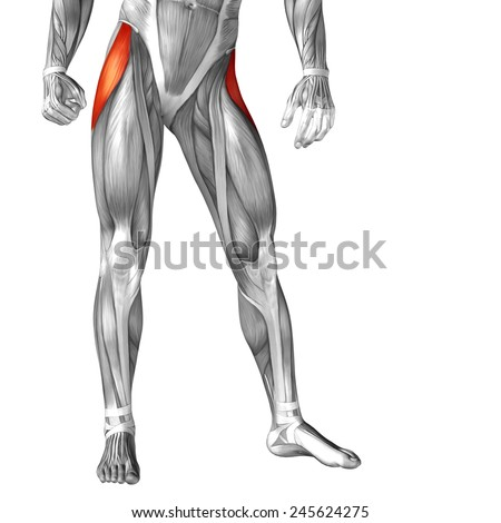 Concept or conceptual 3D human upper leg anatomy or anatomical ...