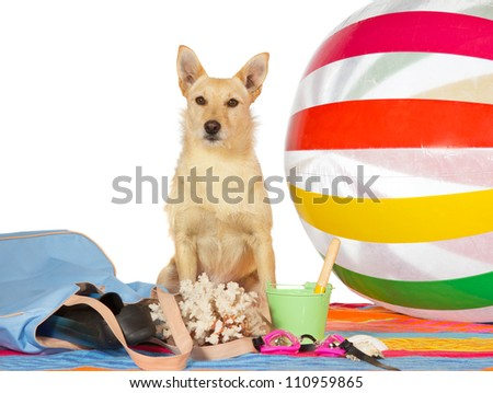 Conceptual portrait of a a cute alert golden dog sitting on a towel surrounded by a colorful striped beach-ball and beach gear on a seaside vacation, studio on white