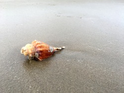 Conch on the sand, Conch
