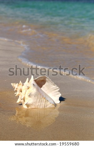 conch shell on a beach