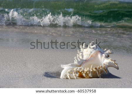 Conch Shell on Gulf of Mexico Beach