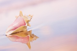 Conch shell on the sand with reflections and pink sunset hues.