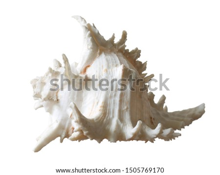 Conch shell, White Conch shell on White Background, Concept Seashell, Material from Sea Beach.