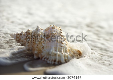 Conch shell with waves engulfing it.