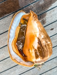 Conch with snail inside. Big shell. Queen conch.