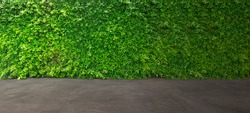 Concrete floor and green leaf ivy plant covered stone fence wall for design.