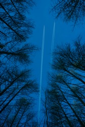 Condensation trails or vapour trails of planes in the sky. white trace on the sky with silhouette trees. two airplanes. larch Tree branches against the blue sky. View from bottom to top.