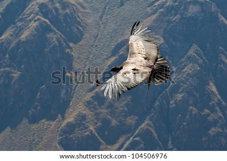 Condor flying above Colca canyon