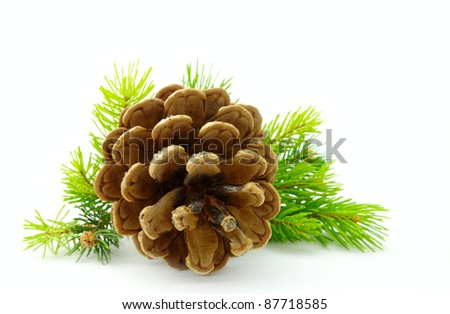 cone and pine branches on a white background