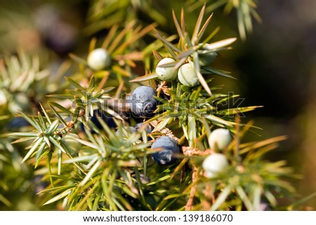 cone berries of Juniperus communis