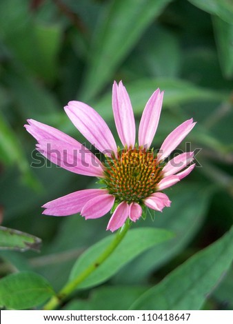 Cone flower on a late summer afternoon