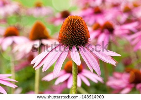 Cone flowers in city park