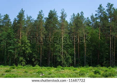 cone forest panorama wall of trees evergreen summer time blue sky