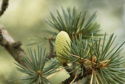 Cone of a Cedar of Lebanon (Cedrus libani)
