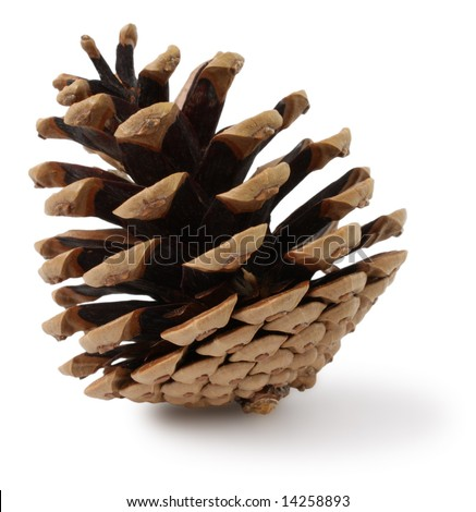 Cone of crimean pine
