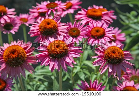 Coneflower Echinacea Plants Growing in Herbal Garden