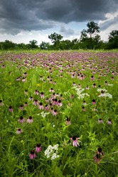 Coneflowers, prairie dock and wild quinine grace the summer prairie at Belmont Prairie Nature Preserve in Downers Grove, Illinois.